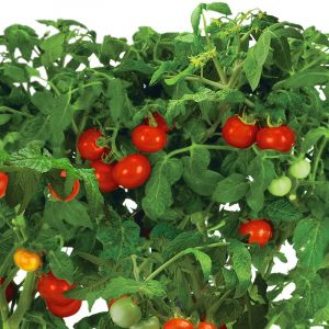 Mega Cherry Tomatoes Seed Pod Kit (Tall Garden Kit)