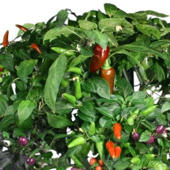 Chili Pepper Seed Pod Kit (7-Pod)