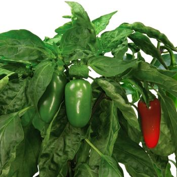 Jalapeno Pepper Seed Pod Kit (7-Pod)