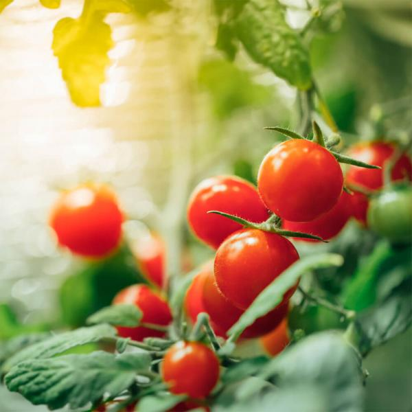 Caring For Your Tomato and Pepper Plants