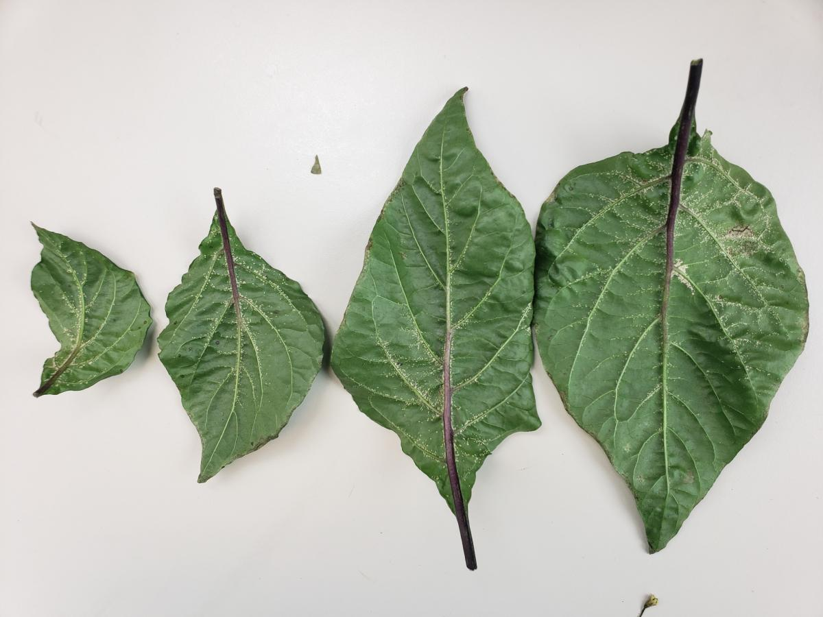 What Is Edema on Plants?