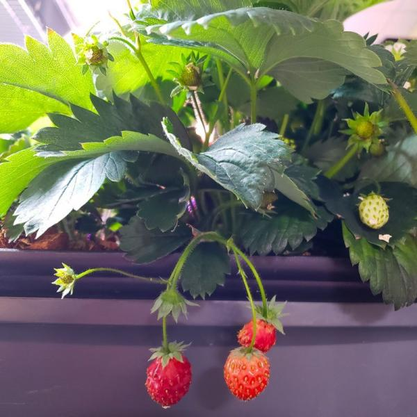 Growing Strawberries!