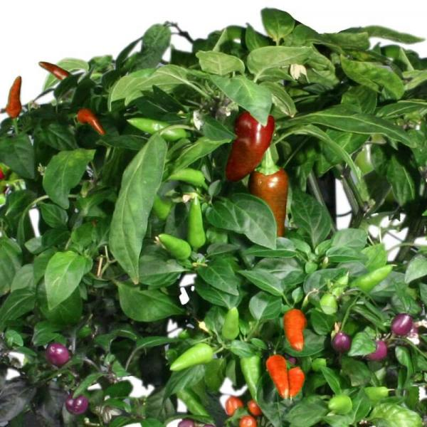 5 Steps to Getting Perfect Peppers