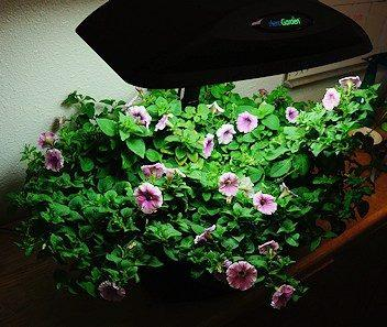 Shock Wave Petunia/Bacopa Mix