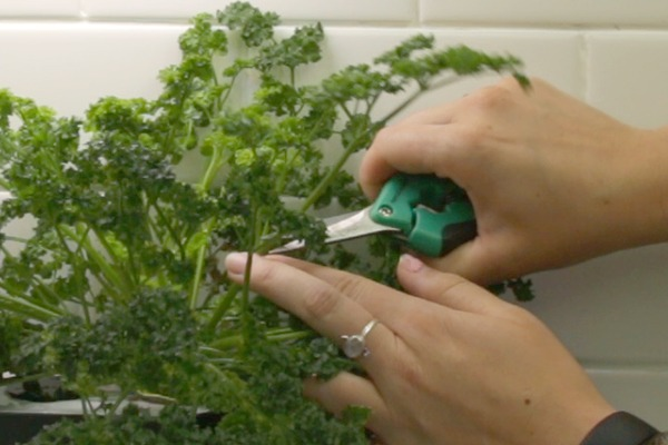 How to Prune Your Favorite Herbs