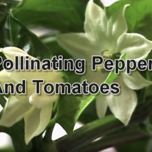 Pollinating Tomatoes and Peppers in Your AeroGarden