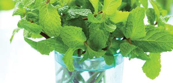 15 Best Uses for Mint Growing in your AeroGarden