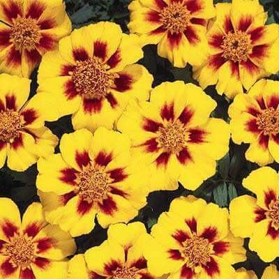 Plant Fact: Marigold Flowers