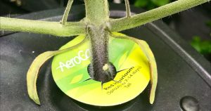 Chlorosis: Diagnosing Pale, Yellow, or Yellow-White Leaves
