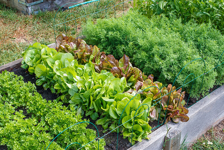 A raised bed vegetable garden.